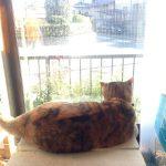 """うちの猫""""しちみ""""の午後の往来観察。"""