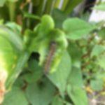 【毛虫注意】クワゴマダラヒトリ