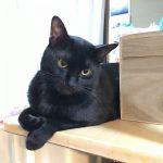 うちの黒猫のゴマ